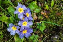 Primule. Sirtori, primavera 2015 - Nikon D810, 60mm (60mm ƒ/2.8) 1,6sec ƒ/16 ISO 64