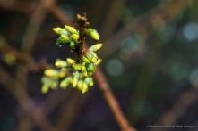 Forsythia. Sirtori, primavera 2015 - Nikon D810, 105mm (105mm ƒ/2.8) 1/3sec ƒ/11 ISO 64