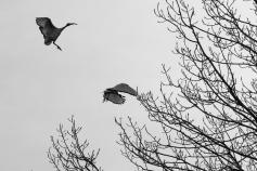 Ibis Eremita. Parco Faunistico La Torbiera, 2015 - Nikon D810, 390mm (85-400mm ƒ4.5-5.6) 1/1250 ƒ/25 ISO 3200