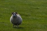 Sheep will stare at you. Near Illugastaðir .Nikon D750, 105 mm (80-400.0 mm ƒ/4.5-5.6) 1/640 sec ƒ/5.6 ISO 100