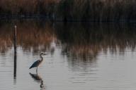 Blue heron (Ardea herodias). Nikon D750, 400mm (80-400 ƒ/4.5-5.6) 1/1000 sec ƒ/7.1 ISO 1600