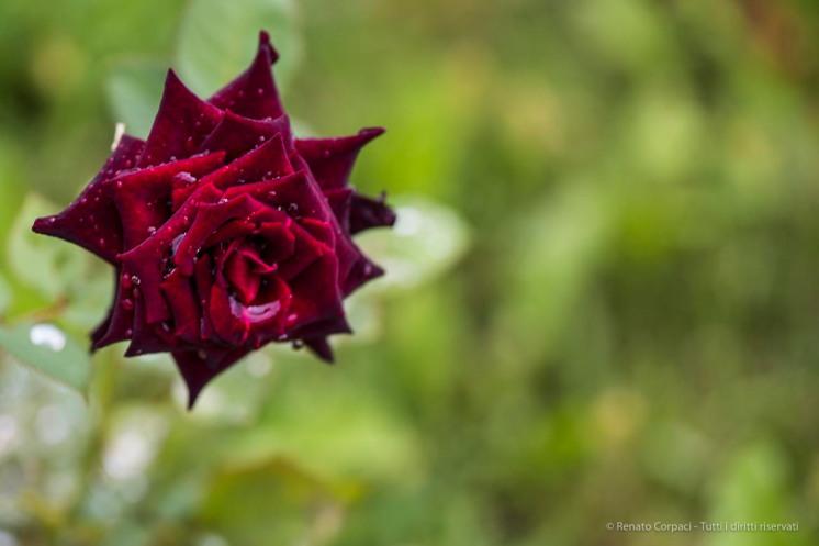 "Rosa nera. Nikon D810, 105.0 mm (105.0 mm ƒ/2.8) 1/100"" ƒ/4.5 ISO 80"