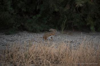 """A hare in the Parque de Doñana. Nikon D750, 380 mm (80-400 mm ƒ/4.5-5.6) 1/3200"""" ƒ/5.6 ISO 800"""