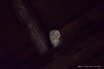 """A barn owl roosted under the roof of the visitor center at El Acebuche. Nikon D750, 400 mm (80-400 mm ƒ/4.5-5.6) 1/40"""" ƒ/5.6 ISO 25600"""