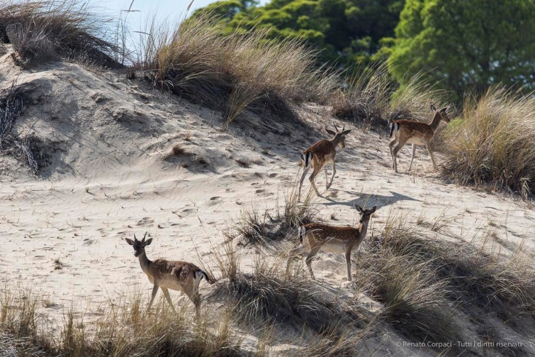 "Fallow deers on the sand dunes in Doñana. Nikon D750, 400 mm (80-400 mm ƒ/4.5-5.6) 1/2000"" ƒ/6.3 ISO 400"